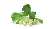 Ginkgo biloba - the composition of the Titanium Gel